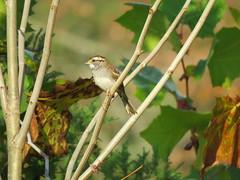 White-throated Sparrow (jdf_92) Tags: indiana yellowwoodstateforest bird sparrow whitethroatedsparrow zonotrichiaalbicollis