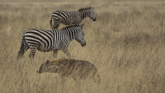 _MG_1634 (esevelez) Tags: tanzania africa serengueti serengeti animales animal animals parque nacional national park nature naturaleza zebra cebra hiena hyena