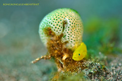 Hi Baby ! (kayak_no1) Tags: nikon d800e nauticamhousing 105mmvr diopter ysd1 subsee10 underwater underwaterphotography macro supermacro diving scubadiving uw lembehstrait indonesia gobi