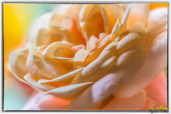 Pinkrose-23-Edit.jpg (raysul) Tags: rose closeup beautyinmacro flower pink macro flowerphotography floralart decorative depthoffield