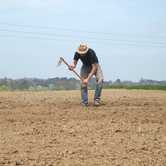 Sing Sing... (L'imaGiraphe (en travaux)) Tags: france field outdoor potato squareformat plantation hd agriculture mathias extrieur nord 59 champ pommedeterre patate formatcarr marachage villerspol tournichette
