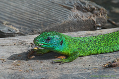 Ramarro - Green lizard (Lacerta viridis)) (pantaraf) Tags: reptile greenlizard lucertola ramarro rettile
