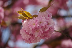 sakura 2013 (fabonthemoon) Tags: pink flower fleur rose spring roos cherryblossoms lente printemps cerisier bloem