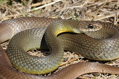 Yellow Bellied Racer (Steven Wong (ATKR)) Tags: yellow texas snake east bellied herps racer coluber constrictor flaviventris