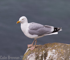 Saltees May 2013 (collybrennan) Tags: ireland nature birds canon amazing zoom wildlife gulls flight scenic 300mm adventure telephoto puffin puffins wexford seabirds salteeislands wildlifesanctury
