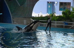 Unna9 (GypsySkye7) Tags: sanantonio believe orca seaworld shamu killerwhale unna captivity shamurocks