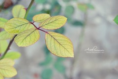 Leaves; (Marika Marconcini's Art;) Tags: inspiration flower verde green art ariel nature leaves rose foglie photography photo shoot foto bokeh picture natura gemma erba mantova spine colourful fiore ramo petali marika verdi immagine scatto bocciolo vigneto colorato ispirazione istant istante marconcini maraviglie marikartist wonderfou