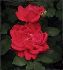 Rosa Radrazz (MissyPenny) Tags: red usa flower rose garden pennsylvania buckscounty rosebush knockoutrose bristolpennsylvania kodakz990 pdlaich missypenny