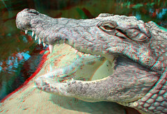 Alligator 3D (wim hoppenbrouwers) Tags: 3d reptile alligator anaglyph crocodile redcyan