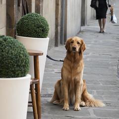cane seduto (g_u) Tags: dog cane florence firenze gu animali ugo viadeibardi