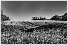Oil field B&W (realdelboy) Tags: light bw shadows surrey godstone silverefexpro oilrapefield