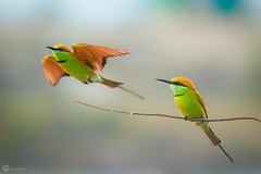 Green bee eater (Himadrihimu) Tags: wow