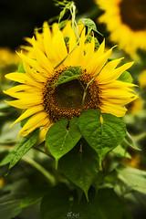 sunflowers (Mori.Kei) Tags: sunflower     leaf yellow green