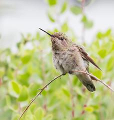 Little Wonder. (Omygodtom) Tags: tamron90mm detail wild wildlife abstract animalplanet bird outdoors anashummingbird animal bokeh nikon nature hoochie park tannersprings urbunnature