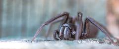 spider sunbathing (jim w-y) Tags: spiders kent web garden shed 8legs arachnid hairy eyes