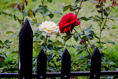 If thou kiss not me.... (kumherath) Tags: roses yellow red woodenfence outdoor gardens morning canon5dmark3 sigma150600sports kumariherath fencefriday