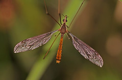 Crane Fly (elderkpope) Tags: bug bugs insect insects nature outdoors macro close utah canon ngc macrodreams