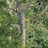 Well hidden Green Woodpecker (Robin M Morrison) Tags: green woodpecker juvenile polden hills somerset
