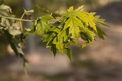 """Has anyone experienced the """"photographer's block""""? (MT_Photography) Tags: green leaf leaves maple 50mm"""
