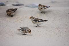 IMG_2461 (tim37401) Tags: snow bunting wales kinmel bay beach dune shore wild bird winter