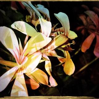 Salvador pelargonium