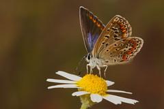 Polyommatus icarus (4) (JoseDelgar) Tags: josedelgar insecto mariposa polyommatusicarus coth coth5 contactgroups fantasticnature alittlebeauty ngc sunrays5 platinumheartaward npc thegalaxy