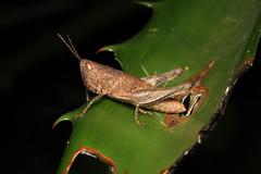 Orthoptera sp. (Grasshopper) - Costa Rica. (Nick Dean1) Tags: orthoptera grasshopper katydid animalia arthropoda arthropod hexapoda hexapod insect insecta costarica lakearenal guanacaste