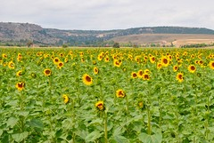 sunflowers (Ian Riley [on the right side of the fence]) Tags: asia turkey eskiehir research station sunflower crop