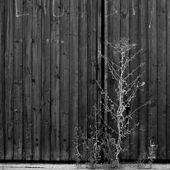 Closed door (Traveller_40) Tags: 50mm bw barn barndoor blackwhite blackandwhite dark door dunkel garage gate gragentor holz macro macrolicious makro monochrome pwm photowalkingmunich:event=80 prime primelense schwarzweis tor walkwithfriends wood closeup dry green plant spalt vertrocknet munic noiretblanc