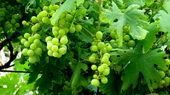 Treille (bernard.bonifassi) Tags: bb088 06 alpesmaritimes 2016 thiery counteadenissa vigne treille raisin