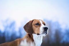 Winter Hound (Niks Freimanis) Tags: hound dog suns winter snow beagle taxi ziema white sky beautiful latvia latvija baltic canon iekurs 85mm 18 6d animal pet majdzivnieks daba nature