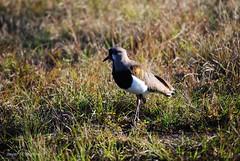 Parque Nacional El Palmar - Tero (Javier N. Martnez R.) Tags: entreros entrerios elpalmar parquenacional argentina tero lapwing
