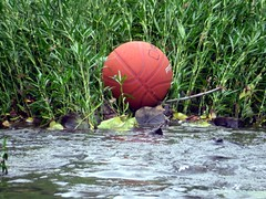 Basketball was once the undisputed King in Indiana. (kennethkonica) Tags: nature canonpowershot summer july global random hoosiers marioncounty midwest america usa indiana indianapolis indy colors animaleyes animal outdoor basketball water creek leaves green weeds game