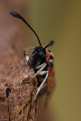 Zygaena fausta (fsescolano) Tags: butterfly mariposa insects insect macro sigma d7100 105