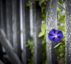 Fenced Glory (jm atkinson) Tags: fence purple friday morning glory damariscotta maine flower