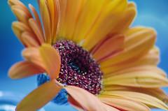 Blooming orange (garlick.rachel) Tags: gerbera red orange flower bloom petals dof macro yellow blue colour beautiful