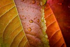 Autumn colors (Jarkko T) Tags: autumn fall red leave orange droplet macro strobist extensiontube