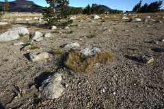 Vegetation (Franklyn W) Tags: yosemite sierra nationalpark backpacking tuolumnemeadows tuolumneriver lyellcanyon johnmuirtrail irelandlake vogelsang highsierra granite wilderness backcountry hiking
