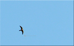 boomvalk (creating more portraits...) Tags: tuin vogel jager stootvogel roofvogel razendsnel boomvalk masker