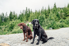 chase-roam-brohm-050716-ajbarlas-7444.jpg (A R D O R) Tags: ajbarlas ardorphotography chase dogs puppy roam