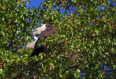 Autumn preening - Resident bald eagle - Staten Island, New York (superpugger) Tags: statenislandbaldeagles bald eagles baldeagles newyorkcitywildlife lawrencepugliares lpugliares