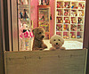 hey i'm a head taller ! (girl enchanted) Tags: white ikea toys shelf collections poodle toyroom pinkroom whitepoodle expedit puppyred dollyroom roomtoy