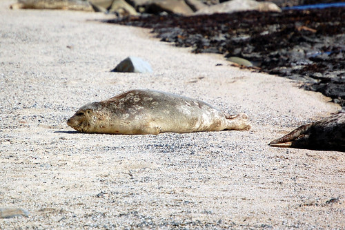 Juvenile Harbor Seal snoozing at Moss Beach, CA