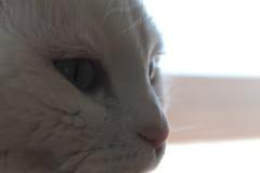 :) (#Drea#) Tags: white cat sweet blanca gata piti