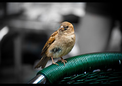 A coffee please (Luca Balbiano) Tags: madrid life bird nature animal chair caf passerotto
