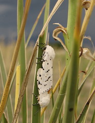 Acrea Moth pair (Bug Eric) Tags: usa nature animals outdoors colorado wildlife insects bugs lepidoptera moths noctuidae coloradosprings arctiidae arctiinae northamerica rockymountains tigermoths saltmarshmoth estigmeneacrea acreamoth june22012