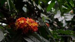 Jungle Flame