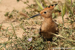 Hoopoe (gcampbellphoto) Tags: bird nature spain wildlife mallorca hoopoe balearics sacoma puntadenamer gcampbellphotocouk