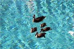 downtown-disney-hotels-ducks-pool (funmamas) Tags: disneyworld disneyanimalkingdom disneyepcot disneymagickingdom waltdisneyworldresort disneythemeparks waltdisneyworldflorida disneyhollywoodstudios livingdisneycom