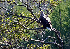 Eagle (rowanlea51) Tags: